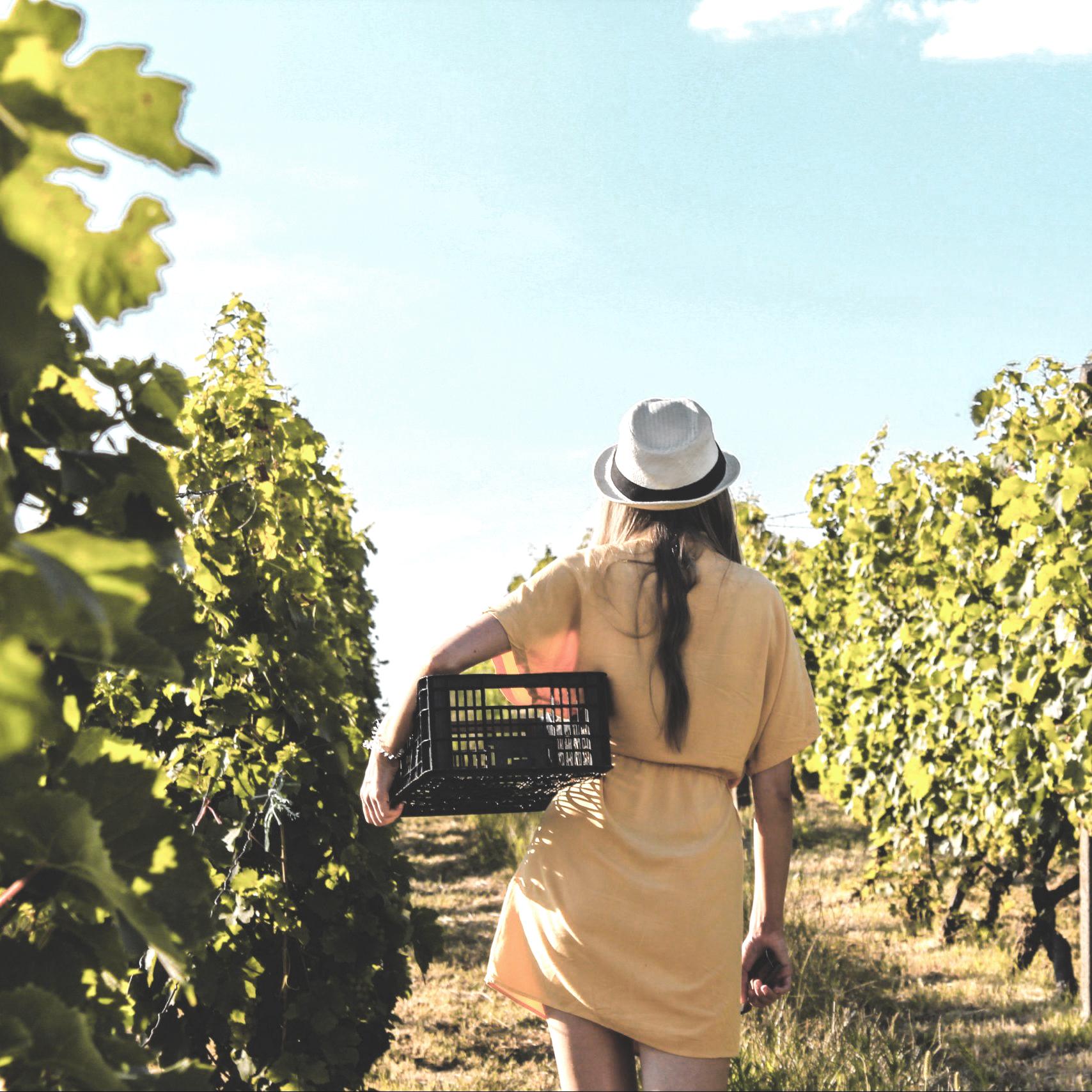 Bezoek je druiven ranken in Stellenbosch